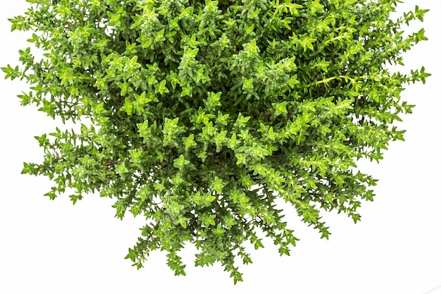 Frische und rohe thymianpflanze (thymus vulgaris). blumentopf lokalisiert auf weißem hintergrund. draufsicht.