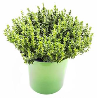 Frische und rohe thymianpflanze (thymus vulgaris). blumentopf lokalisiert auf weißem hintergrund