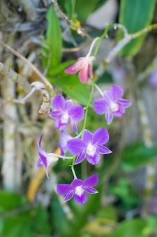Frische violette orchideenblüte im garten, abschluss herauf blumenhintergrund