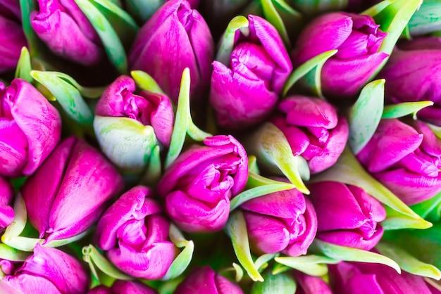 Frische violette tulpen