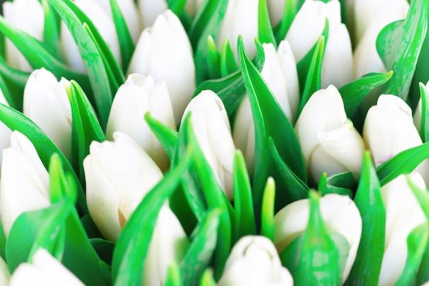 Frische weiße frühlingstulpen mit grünen blättern, weichem fokus und bokeh im hintergrund