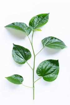 Frische wilde betelblätter auf weiß