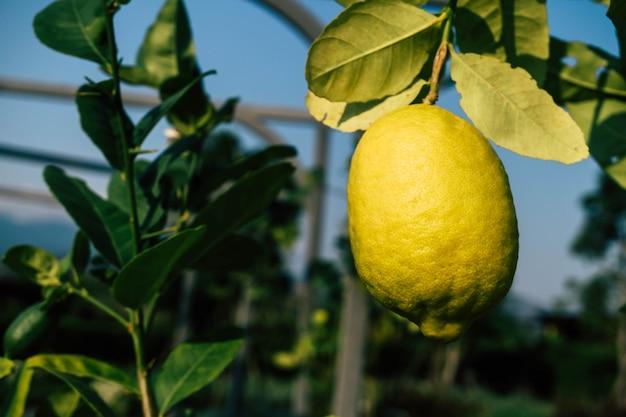 Frische zitronenfrucht im garten