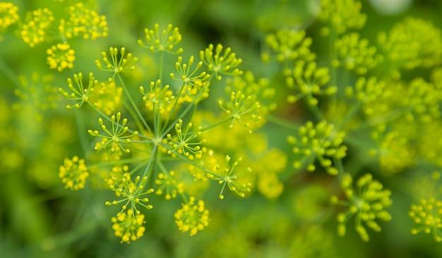 Frischer blühender dillschirm sommer natürlicher hintergrund bio-hausgarten präventivmedizin