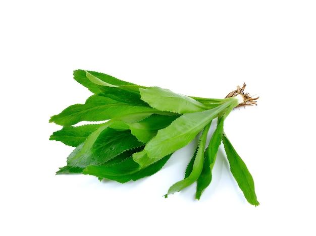 Frischer culantro, sägezahnkoriander - eryngium foetidum