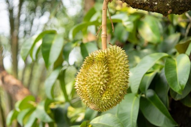 Frischer durian, tropische frucht in thailand