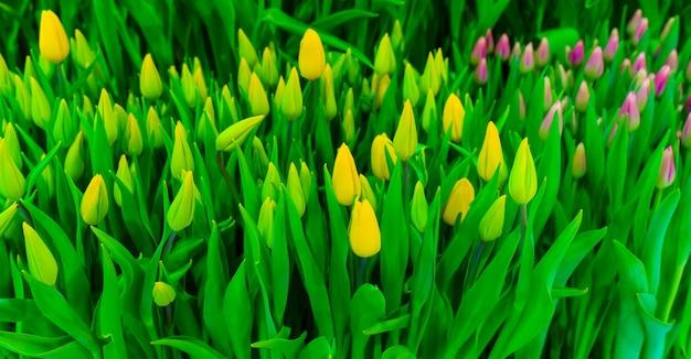Frischer frühling mehrfarbige tulpenblumen. blumenhintergrund