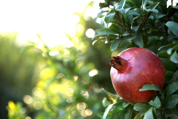 Frischer granatapfel auf dem baum