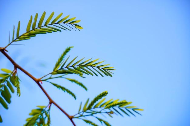 Frischer grüner amla-baum verlassen