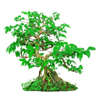 Frischer grüner bonsai isoliert auf weißem hintergrund