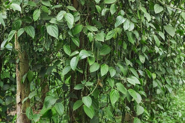 Frischer grüner ceylonpfeffer (piper nigrum linn) auf baum in der natur