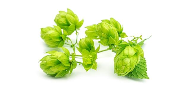 Frischer grüner hopfenzweig, lokalisiert auf einem weißen hintergrund. hopfenzapfen für die herstellung von bier und brot. nahansicht.