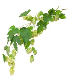 Frischer grüner hopfenzweig, lokalisiert auf einer weißen oberfläche. hopfenzapfen für die herstellung von bier und brot. nahansicht