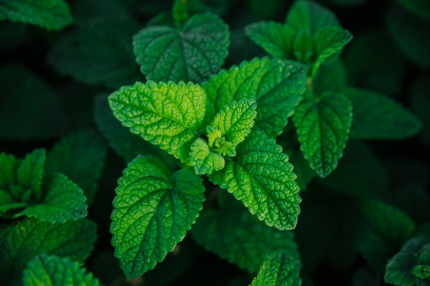Frischer grüner minzblatthintergrund mit naturkonzept der minzblattökologie nah oben