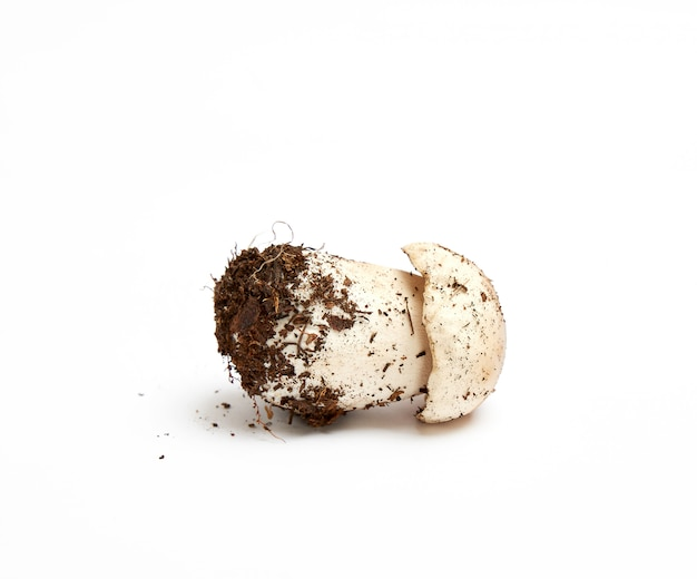 Frischer junger pilz mit wurzel und myzel boletus edulis