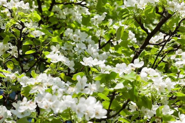 Frischer junger weißer blumenbaum, frühlingszeit im garten