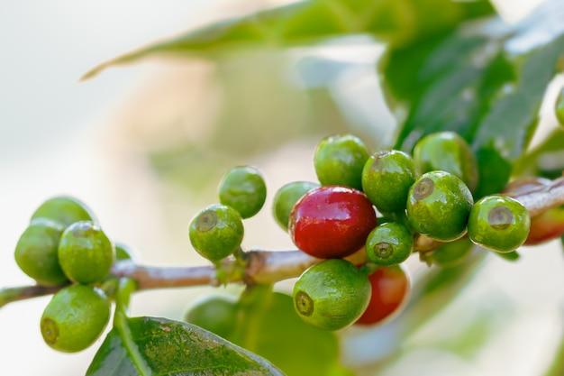 Frischer kaffee der nahaufnahme auf den bäumen und den wassertropfen des morgensonnenlichts.