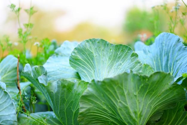 Frischer kohl, der in der gemüsegartenlandwirtschaft wächst