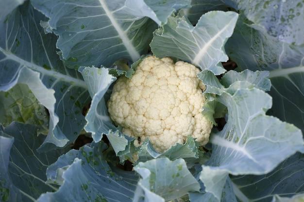 Frischer kohl des gemüsegartens, gemüse, das einen hohen nährwert bietet.