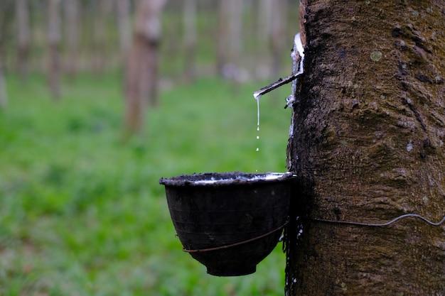 Frischer milchiger latex fließt in eine plastikschüssel vom paragummibaum hevea brasiliensis