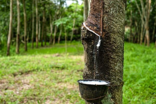 Frischer milchiger latex fließt vom paragummibaum in eine plastikschüssel