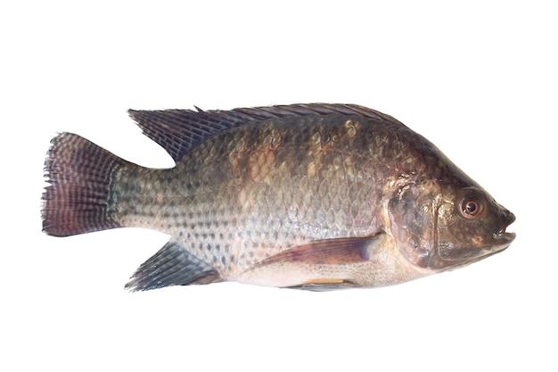 Frischer nil tilapia getrennt auf weiß.