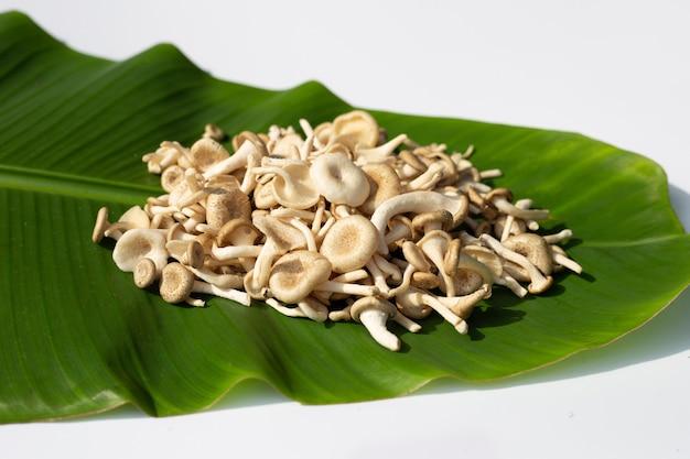 Frischer pilz auf bananenblatt. lentinus squarrosulus mont
