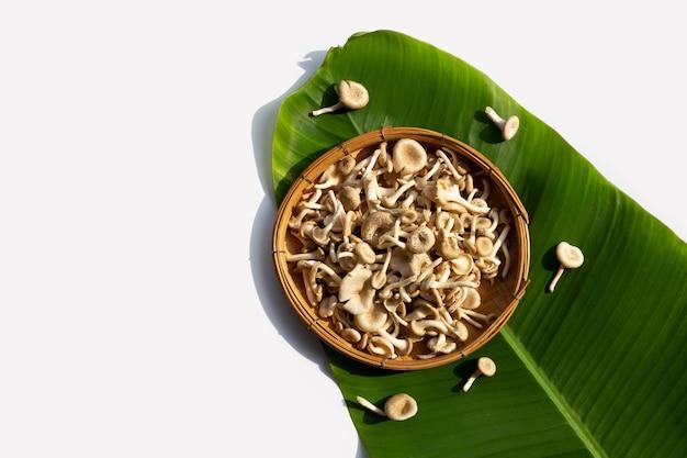 Frischer pilz im bambuskorb. lentinus squarrosulus mont