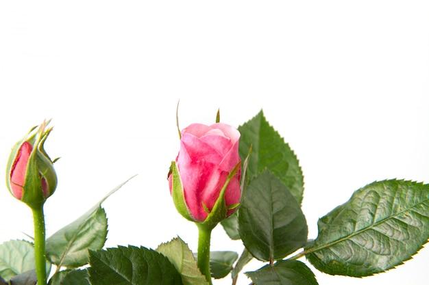 Frischer rosa rosenstrauß