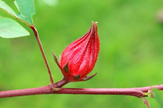 Frischer roter roselle oder jamaikanischer sorel, auf dem baum. natur- und heilpflanzekonzept.