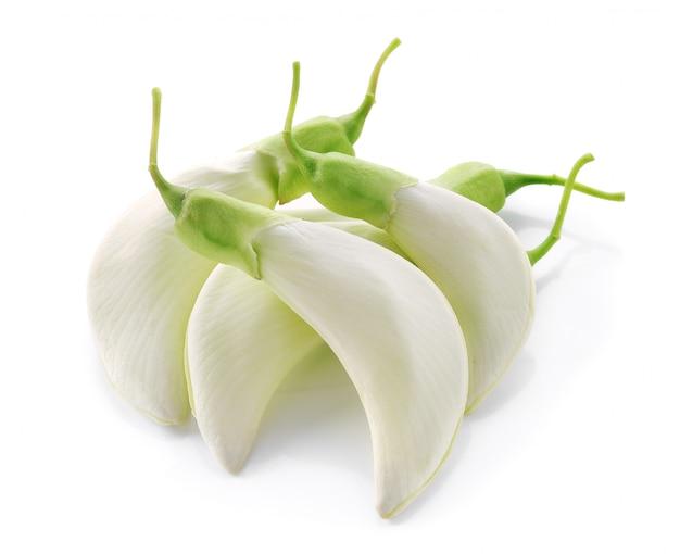 Frischer weißer sesban oder summenvogelbaum auf weiß.
