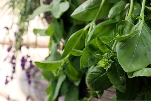 Frisches basilikum und lavendel werden in suspendierter form in bündeln an der frischen luft auf einem hölzernen hintergrund getrocknet. das konzept der duftenden kräuter für die gesundheit