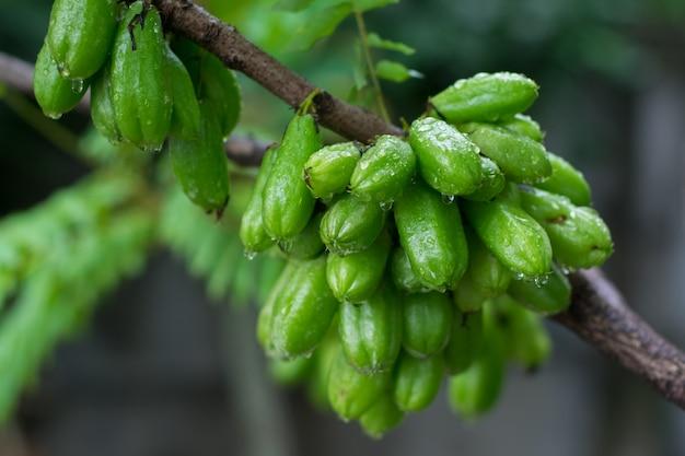 Frisches bilimbi, bilimbing, gurkenbaum