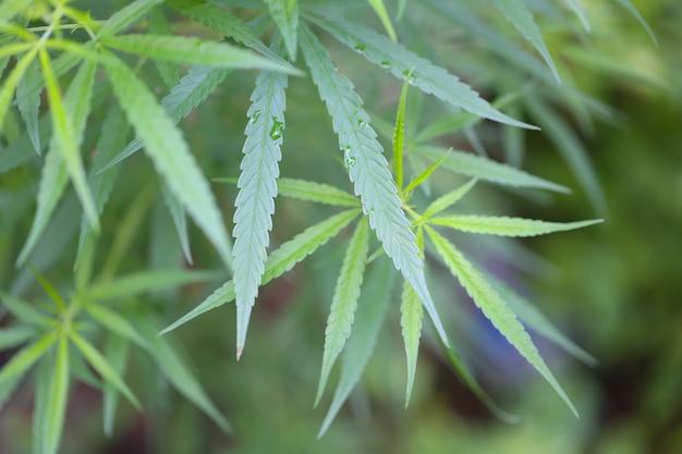 Frisches cannabis oder hanf im bio-kräutergarten.