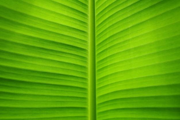 Frisches grünes bananenblatt für hintergrund