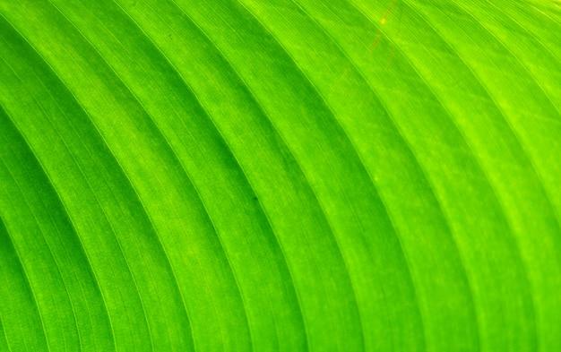 Frisches grünes bananenblatt nah oben