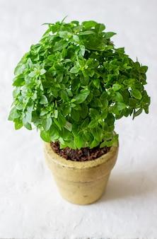 Frisches grünes basilikum. diät. gesundes essen.