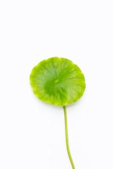 Frisches grünes centella asiatica-blatt auf weißem hintergrund.