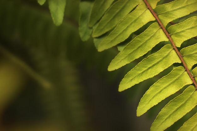 Frisches grünes farnblatt im wald mit unscharfem hintergrund.