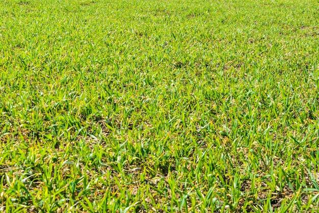 Frisches grünes gras am sonnigen frühlingstag. frühlingslandschaft. geräumiges grünes feld. hintergrund, textur des grünen grases.