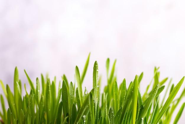 Frisches grünes gras mit dem tropfen-tau lokalisiert auf weißem hintergrund mit kopienraum, eco konzept