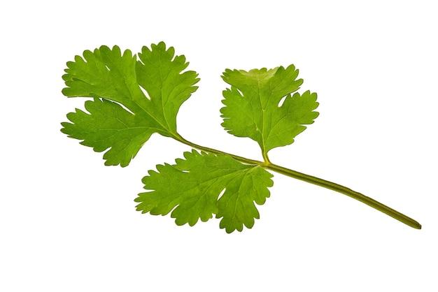 Frisches grünes petersilienblatt lokalisiert auf weißem hintergrund. hochwertiges foto