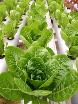 Frisches grünes tatsoi-gemüse aus wasserkulturtöpfen.