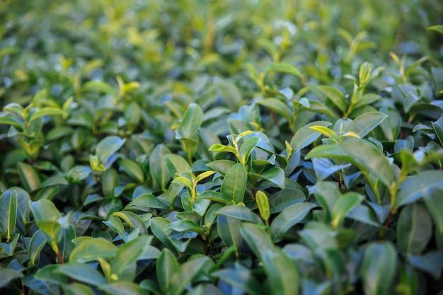 Frisches grünes teefeld der nahaufnahme und ansicht von szenischen jungen oberen frischen hellgrünen teeblättern