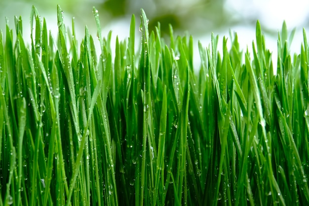 Frisches grünes weizengras mit tropfen tau
