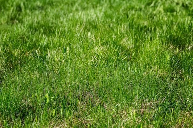 Frisches helles junges grünes gras auf dem boden. naturrasen. nahansicht. wand. platz für text.