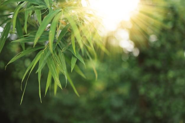 Frisches naturhintergrundkonzept, grüne bambusblätter im sonnigen wald.