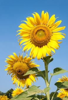 Frisches sonnenblumenfeld