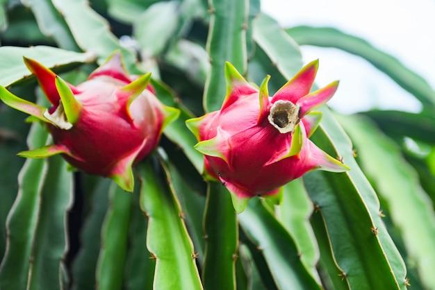 Frisches wachsen der reifen drachefrucht auf einem dracheobstbaum-plantagenhintergrund