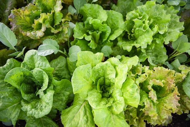 Frischgemüsesalatblatt in der organischen gemüsegartenarbeitswartezeit des gartenlebensmittels erntete biokost des grünen salats